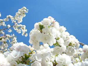 white-floral-blossoms-art-prints-spring-tree-blue-sky-baslee-troutman-fine-art-prints
