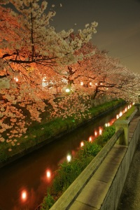 Cherry blossoms in the evening in Sakura, Japan.